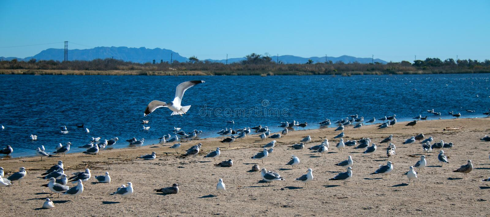 Lone Seagull flying over flock of seagulls [Laridae] at McGrath state park Santa Clara river mouth marsh at Ventura California USA. Lone Seagull flying over stock image