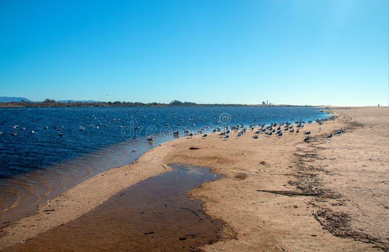Flock of Seagulls [Laridae] at McGrath state park estuary where the Santa Clara river meets the Pacific at Ventura California USA. Flock of Seagulls [Laridae] at stock photography