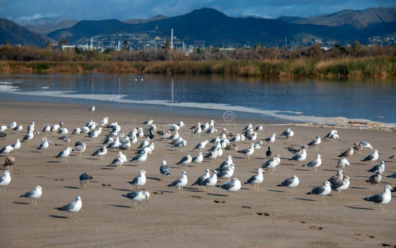 Flock of Seagulls [Laridae] at McGrath state park estuary where the Santa Clara river meets the Pacific at Ventura California USA. Flock of Seagulls [Laridae] at stock photo