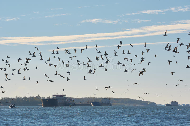 A flock of seagulls over the river don. royalty free stock photography
