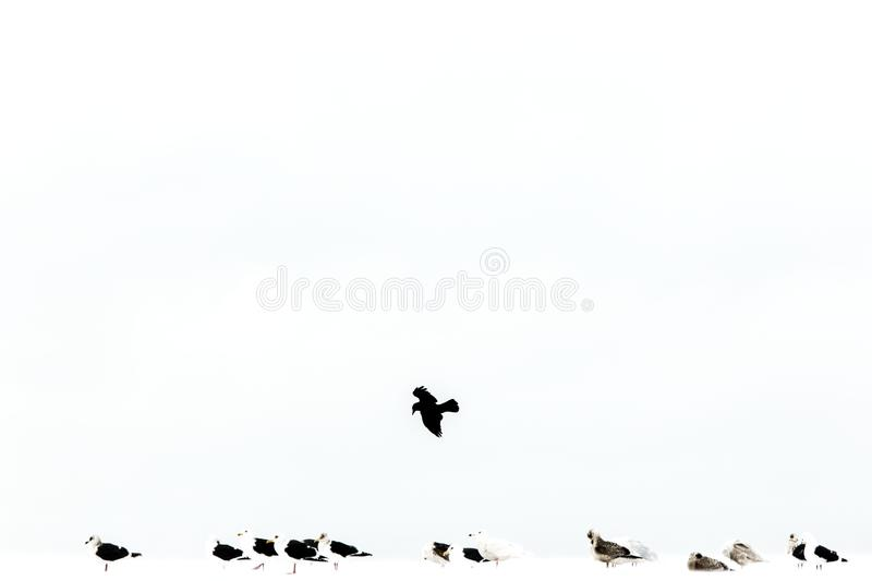 Flock of seagulls on sea shore during winter in Hokkaido, Japan, crow flying above,  birds, landscape in winter with birds royalty free stock photos