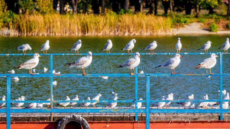 A flock of seagulls sits on a fence near a river in a city park_ stock images