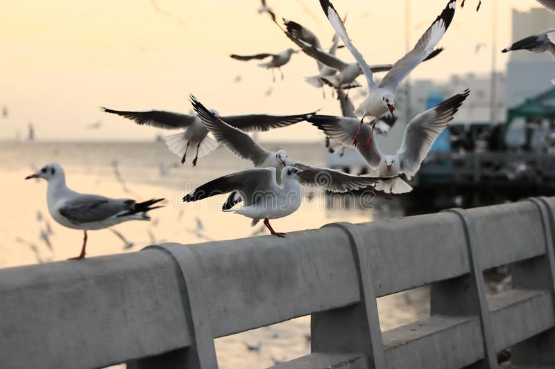 Flock of seagulls standing on stone fence during sunset Science name is Charadriiformes Laridae . Selective focus and shallow d. Epth of field stock images