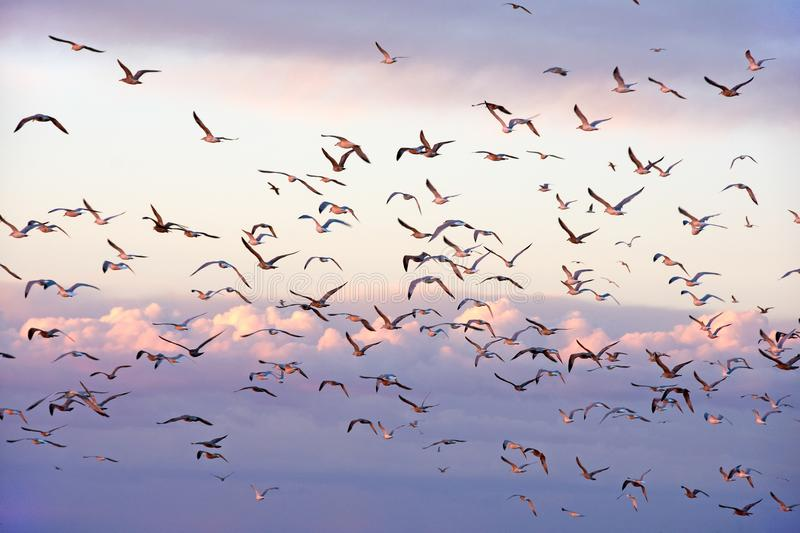 Flock of seagulls in sunset sky stock images
