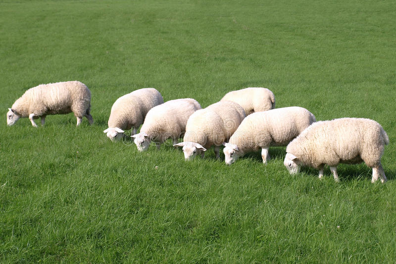 Download Flock of Sheep stock photo. Image of field, grass, grazing - 13038698