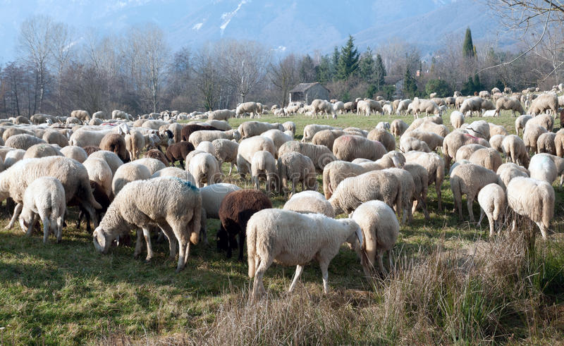 Flock of sheep. On the plains for the winter - Dolomites stock photos