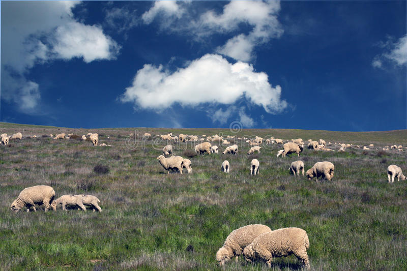 Download Flock of sheep stock image. Image of sheep, wool, field - 21181009