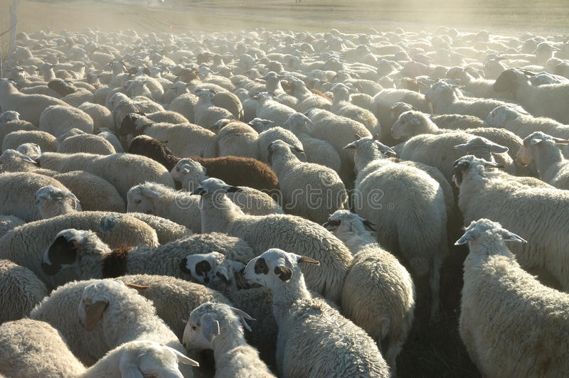 Download Flock Of Sheep Royalty Free Stock Photo - Image: 21398675