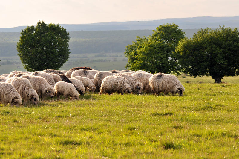 Download Flock of sheep stock photo. Image of farm, life, grass - 9402882