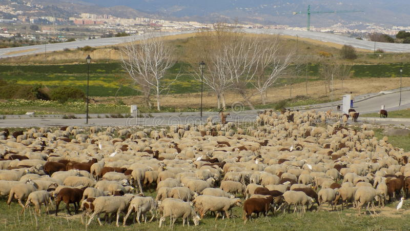 Download FLOCK OF SHEEP-Andalusia-Spain-Europe Stock Photo - Image: 83722387