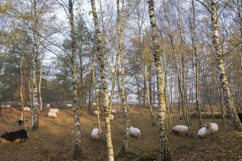 Flock of sheep in autumnal forest near utrecht and zeist in the netherlands. Flock of sheep in colorful fall forest near utrecht and zeist in the netherlands royalty free stock images