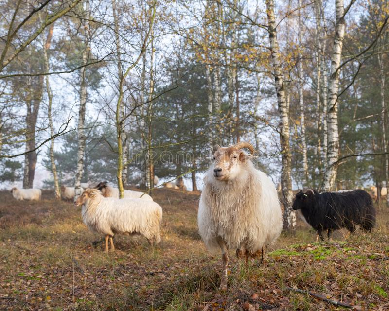 Flock of sheep in autumnal forest near utrecht and zeist in the netherlands. Flock of sheep in colorful fall forest near utrecht and zeist in the netherlands royalty free stock image
