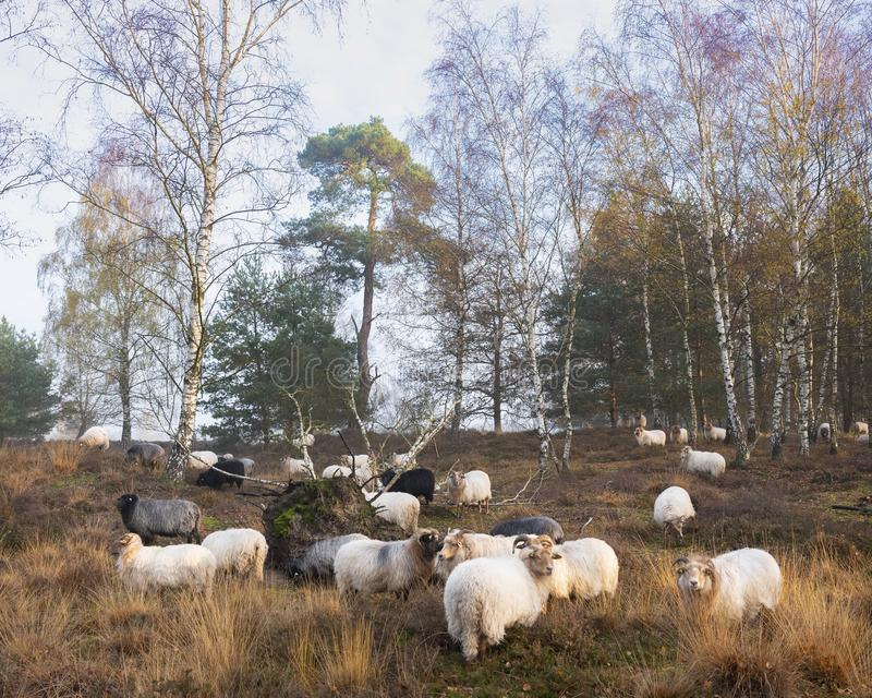 Flock of sheep in autumnal forest near utrecht and zeist in the netherlands. Flock of sheep in colorful fall forest near utrecht and zeist in the netherlands stock image