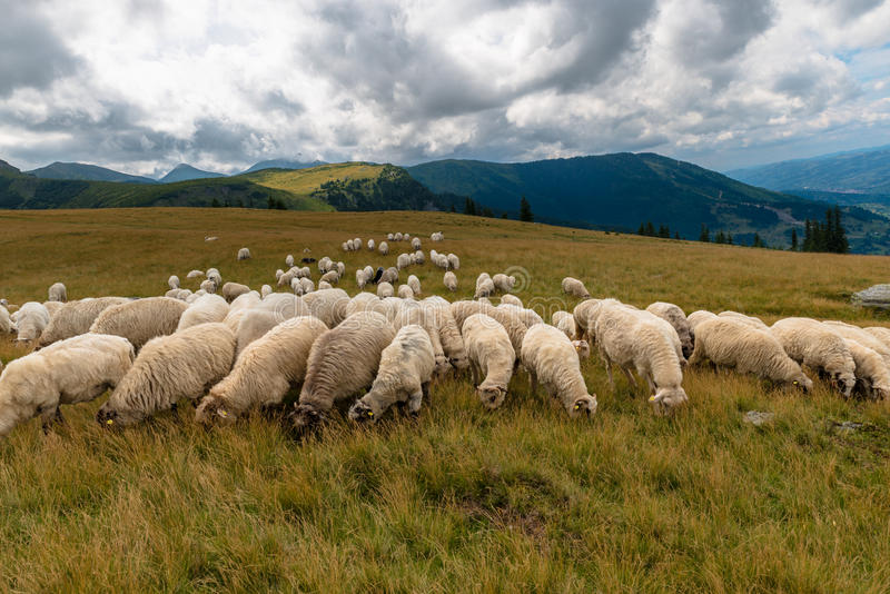 Flock of sheep. In Carpathian Mountains royalty free stock images
