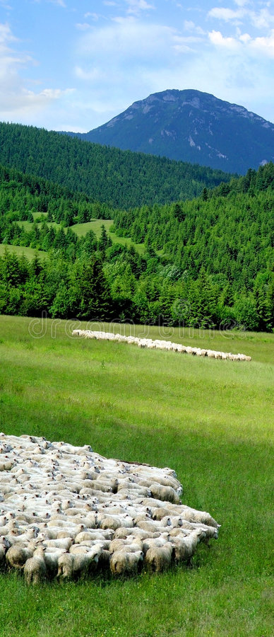 Flock of sheep in countryside. Flock of sheep in rural countryside, forest and mountain in background stock photo