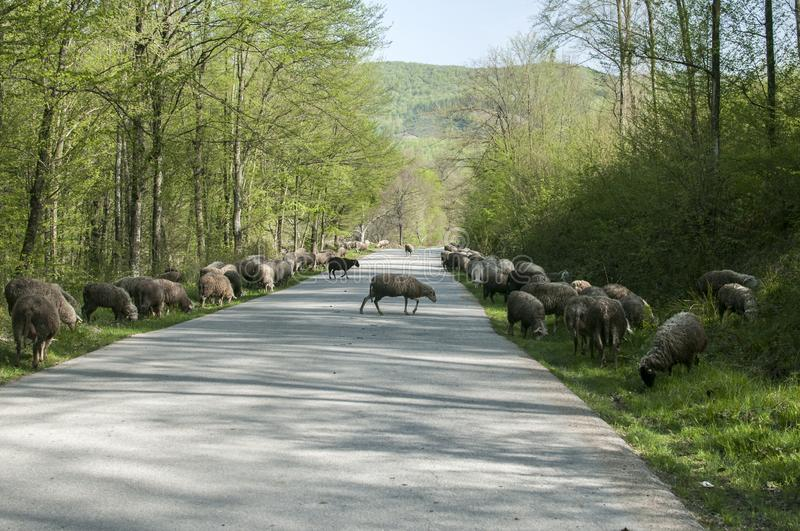 Flock of sheep crossing road royalty free stock images