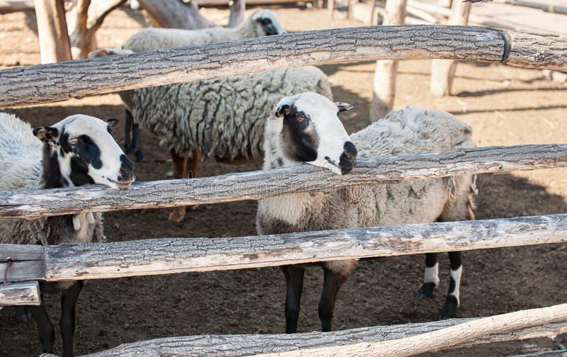 Flock of sheep of different suits in a pen for livestock, preparing to go out to pasture. stock photography