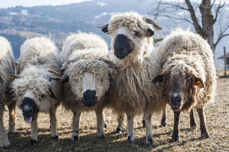 Flock of sheep in a dry pasturage royalty free stock photo