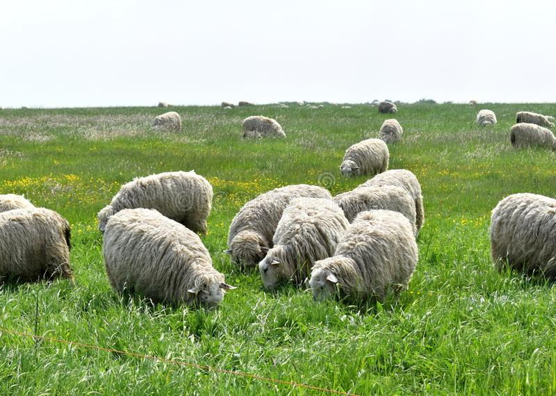 Flock of Sheep in the English Countryside stock photos