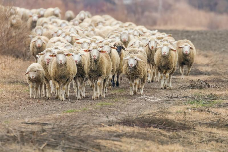 Flock of sheep, sheep on field stock images