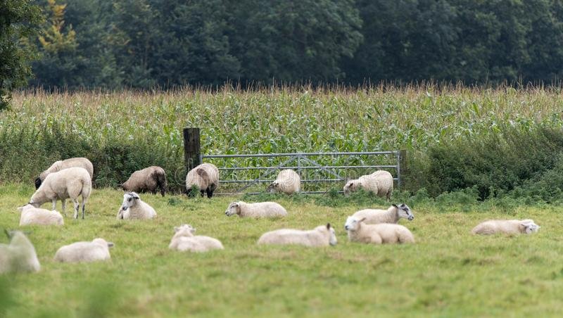 A Flock of Sheep in a field stock images