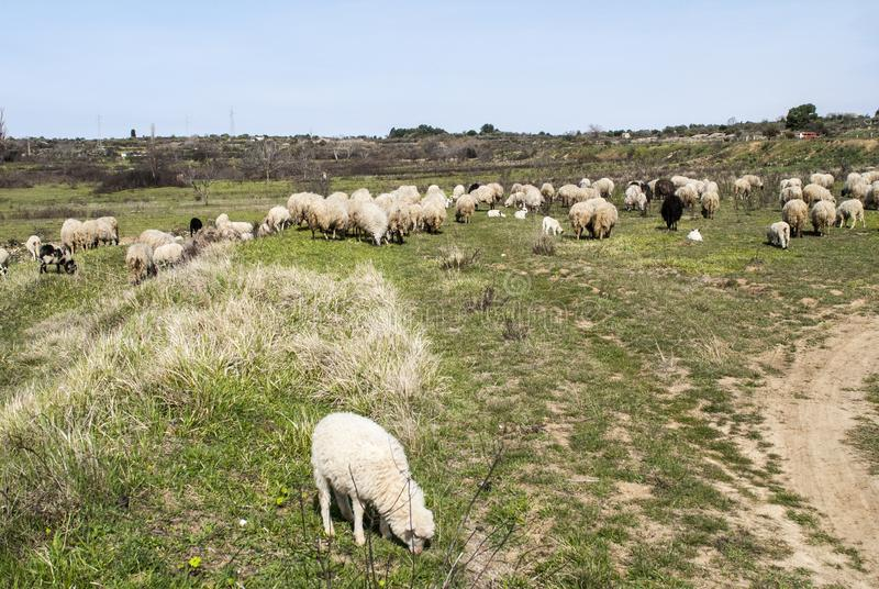 flock of sheep in field royalty free stock image