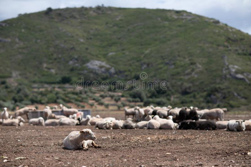 Flock of sheep in the field stock photos