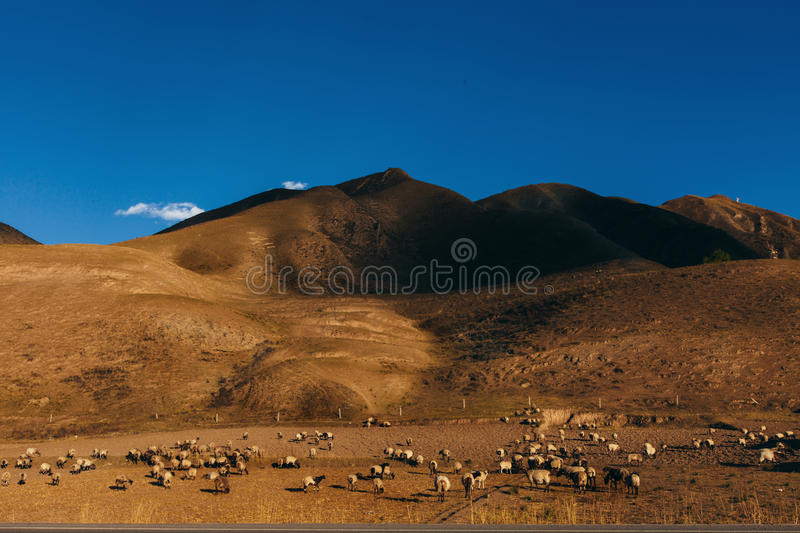 Flock of the sheep on a field near to mountain in China. Big flock of the white sheep on a pasture under hills in China stock images