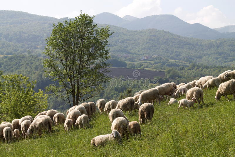 Flock of sheep in the gentle morning light stock images