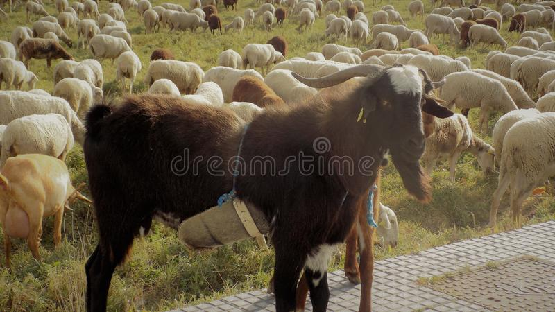 Download FLOCK OF SHEEP And GOAT-Andalusia-Spain-Europe Stock Photo - Image: 83722290
