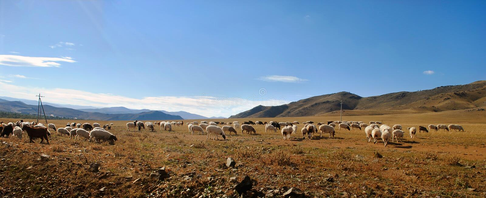 A flock of sheep graze in the steppe on the mountains in the background. Summer-autumn landscape stock images