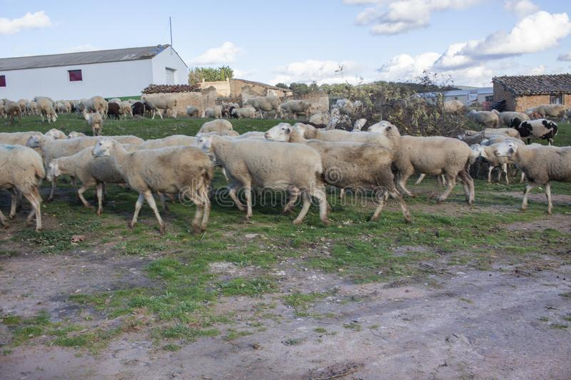 Flock of sheep grazed in the middle of a village royalty free stock photos