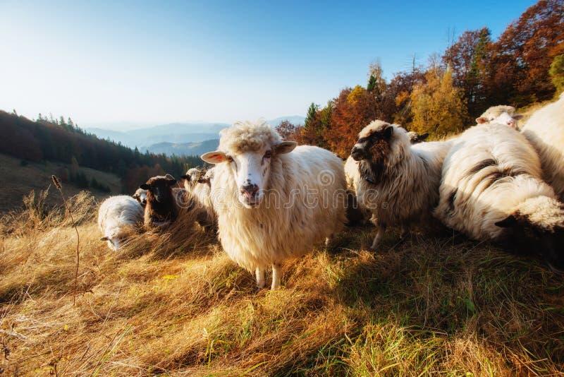 Flock of sheep grazes on field stock photos