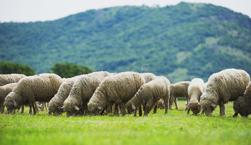 Flock of sheep grazes on a green field royalty free stock photo