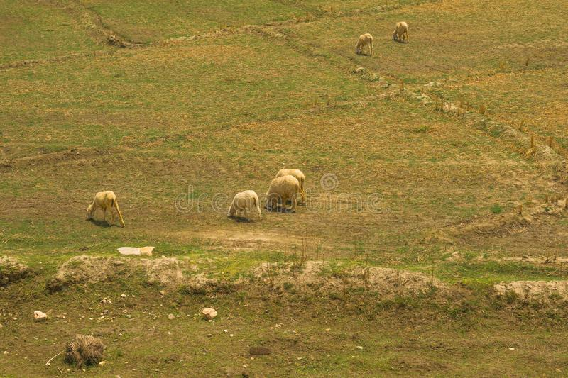 A flock of sheep grazing in a meadow stock photos