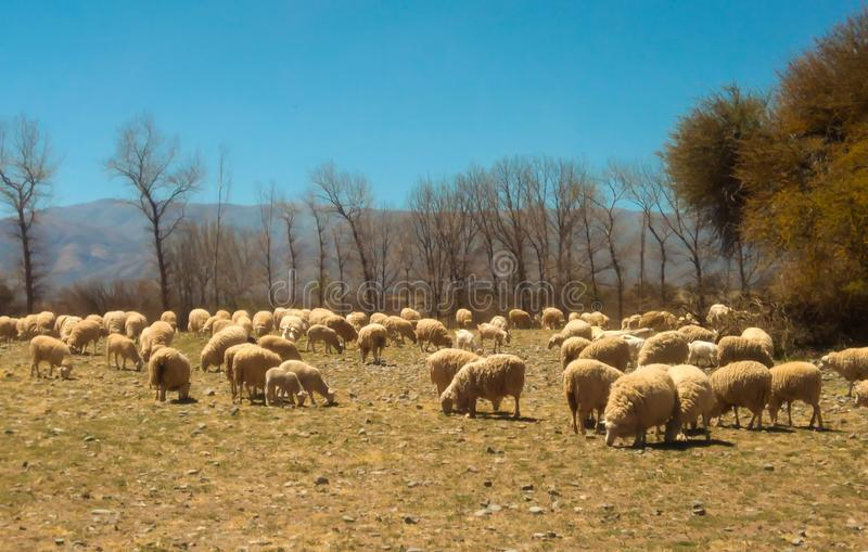 Flock of sheep grazing on the field stock image