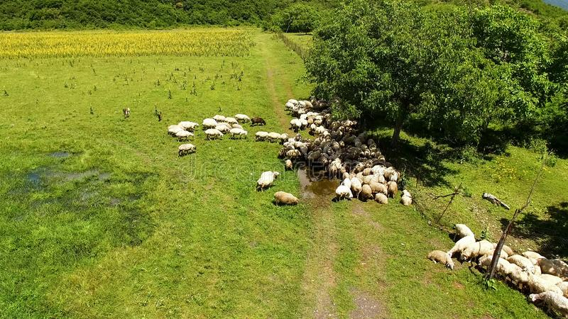 Flock of sheep grazing on field of farmland on sunny day, aerial view, farming royalty free stock photography