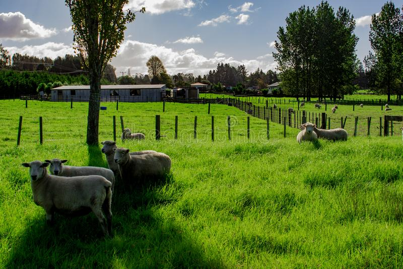 Sheep in a Field, Kerikeri NZ stock images