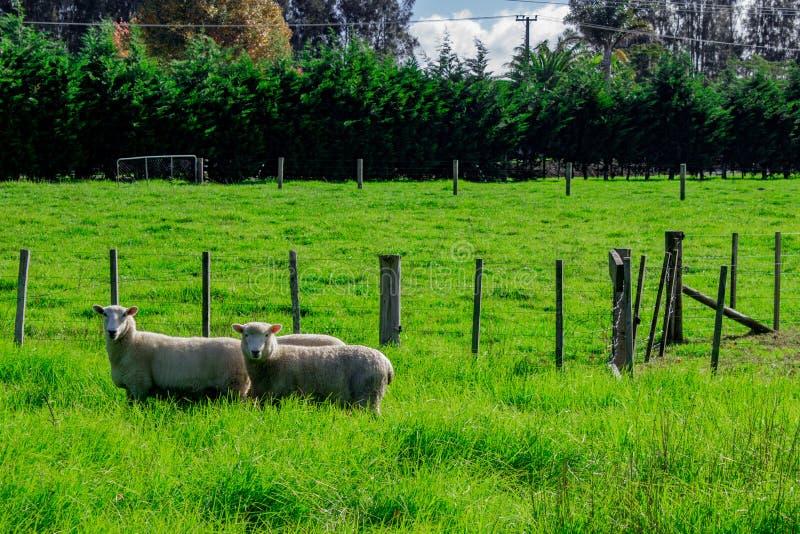 Sheep in a Field, Kerikeri NZ stock photo