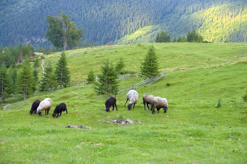A flock of sheep grazing on green grass in a mountain valley with a beautiful summer landscape.  royalty free stock photography