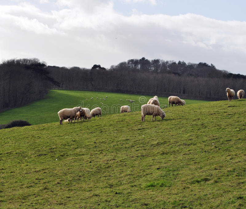 Flock of sheep grazing on a hill stock images