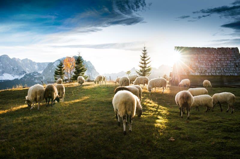 Flock of sheep grazing royalty free stock photos