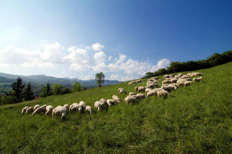 Flock of sheep grazing on a hillside royalty free stock images