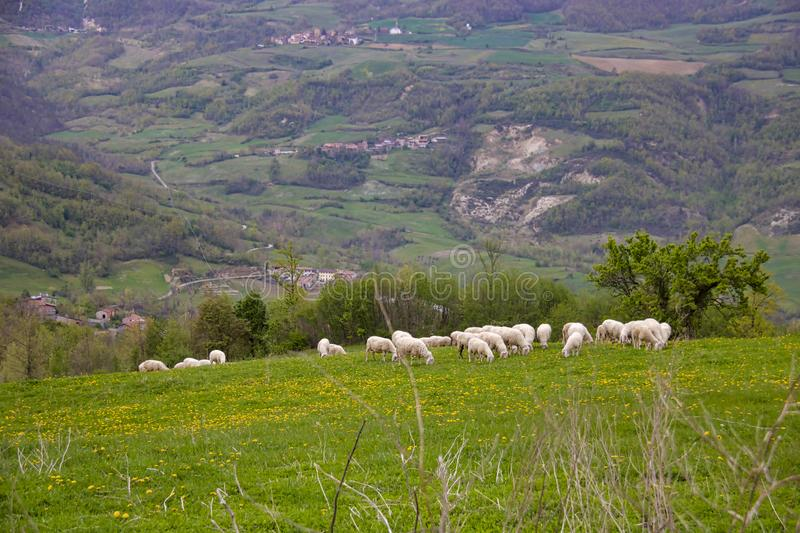 Flock of sheep grazing on a hillside in a meadow stock images