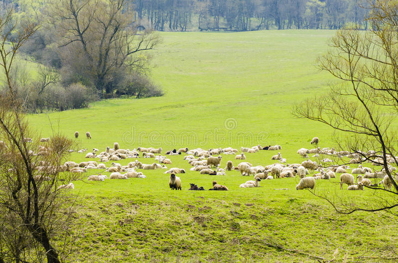 Flock of Sheep. Grazing in the mountains stock photography