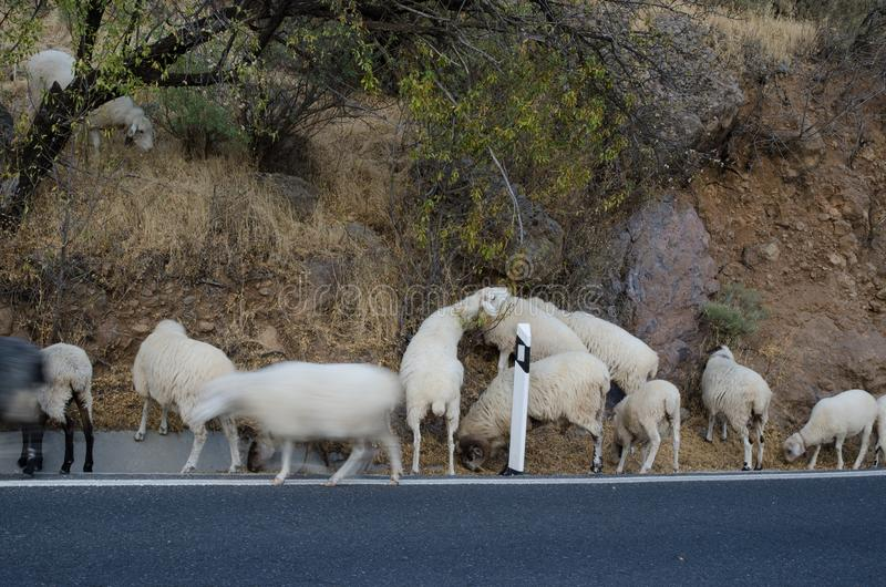 Flock of sheep grazing on the roadside. Flock of sheep Ovis aries grazing on the roadside. The Nublo Rural Park. Tejeda. Gran Canaria. Canary Islands. Spain royalty free stock images