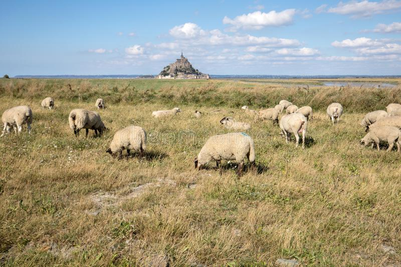 A flock of sheep grazing on the salt meadows close to the Mont Saint-Michel tidal island under a summer blue sky. Le Mont Saint Michel, France stock photography