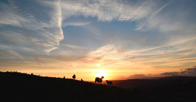 Flock of sheep grazing at sunrise stock photos