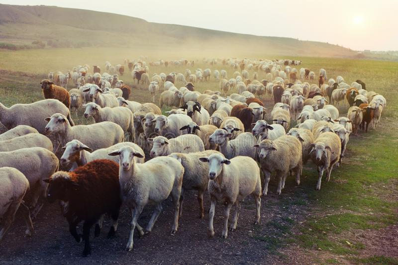 Flock of sheep grazing at sunset stock photo
