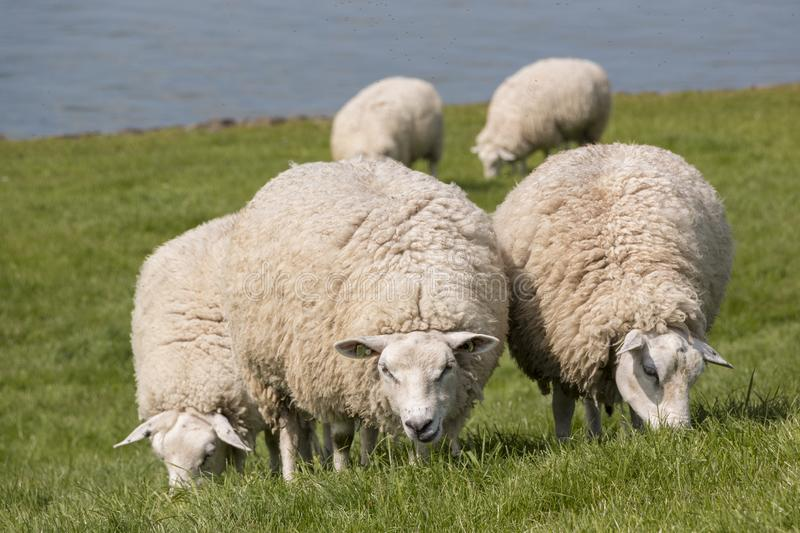 Flock of sheep grazing with water in the background. Sheep grazing on the dyke at the IJsselmeer in the Netherlands stock photography